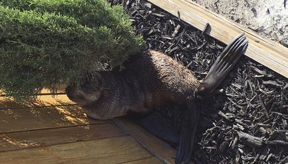 Image: Baby seal found in front yard