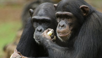 Image: Can you genetically engineer a chimp to make a human?