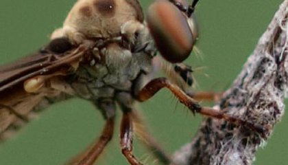 Image: Assassin or robber, this fly is on the most wanted list