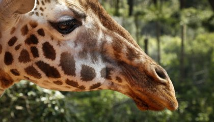 Image: Giraffes now rarer than elephants