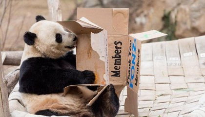 Image: Bao Bao's last day at the National Zoo