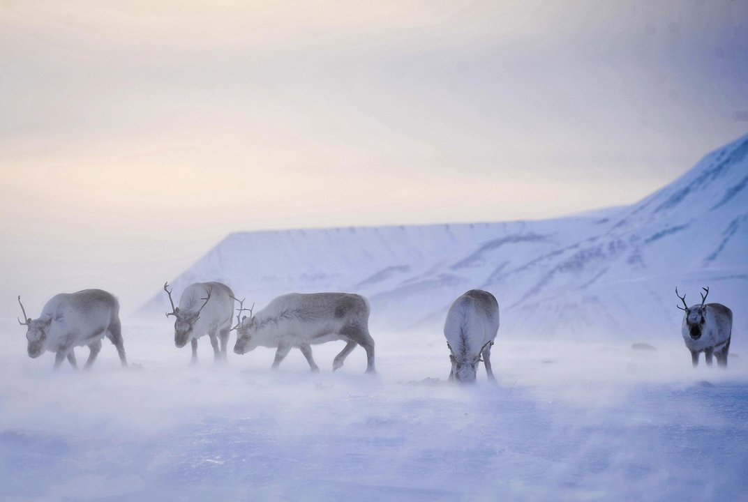 Scientists say reindeer may be shrinking due to warming