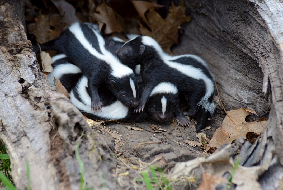 What makes skunks' spray smell so terrible?