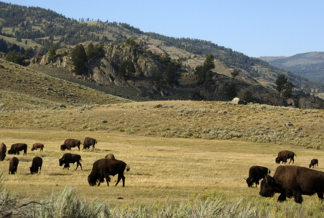 Yellowstone losing battle against cellphones