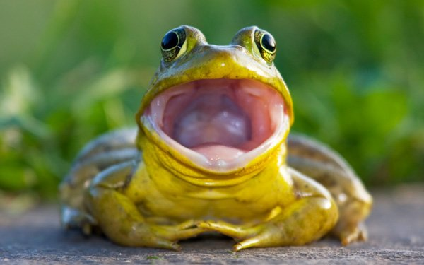 Invading bullfrogs will eat almost anything!