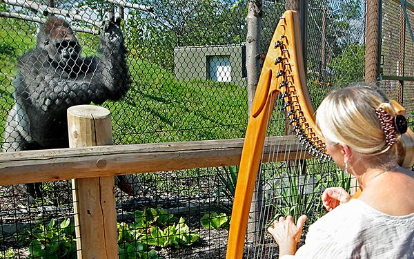 How do you cheer up an unhappy ape? With a harp!