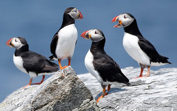 Puffins have problems want to help these birds?
