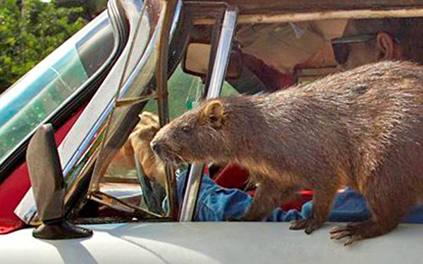 What is that thing? It's a popular pet in Cuba
