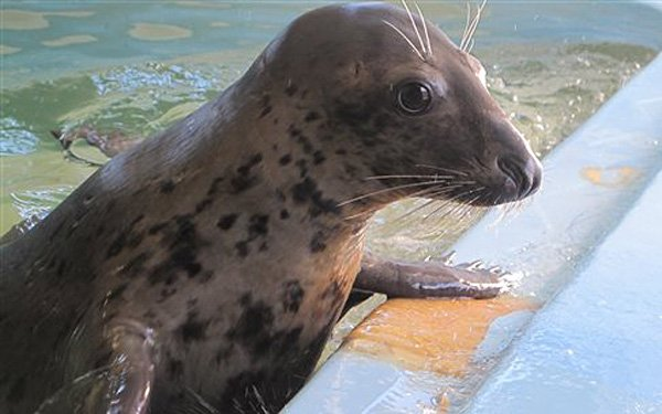 Seal deemed too friendly heading to Detroit